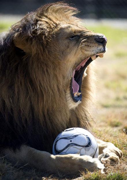 Leone che pensava che i mondiali di calcio fossero più divertenti