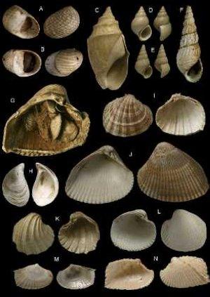 Conchas de los moluscos encontrados en el yacimiento. :: SUR