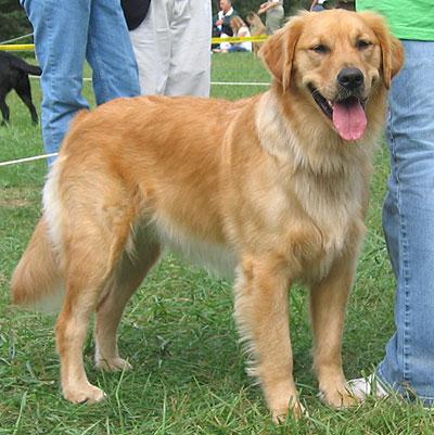 Reiki supremo yom rom golden retriever for Dog house for labrador retriever