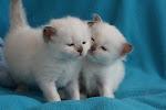 Heilige Birmaan Kittens