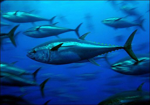 [bluefin-tuna_greenpeace.jpe]