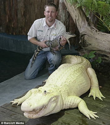 The white alligator From Gatorland theme park Florida Seen On  www.coolpicturegallery.us