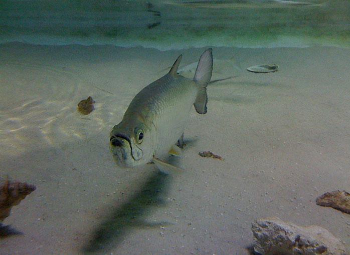 Baby Tarpon Fish