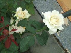Mais rosas do meu Jardim - Brancas PAZ