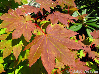 Vine Maple