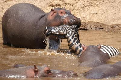Great Exposures: Masai Mara, Kenya  Hippopotamus