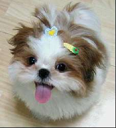 Read More on shih tzu dog
