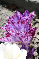 A Crocus plant