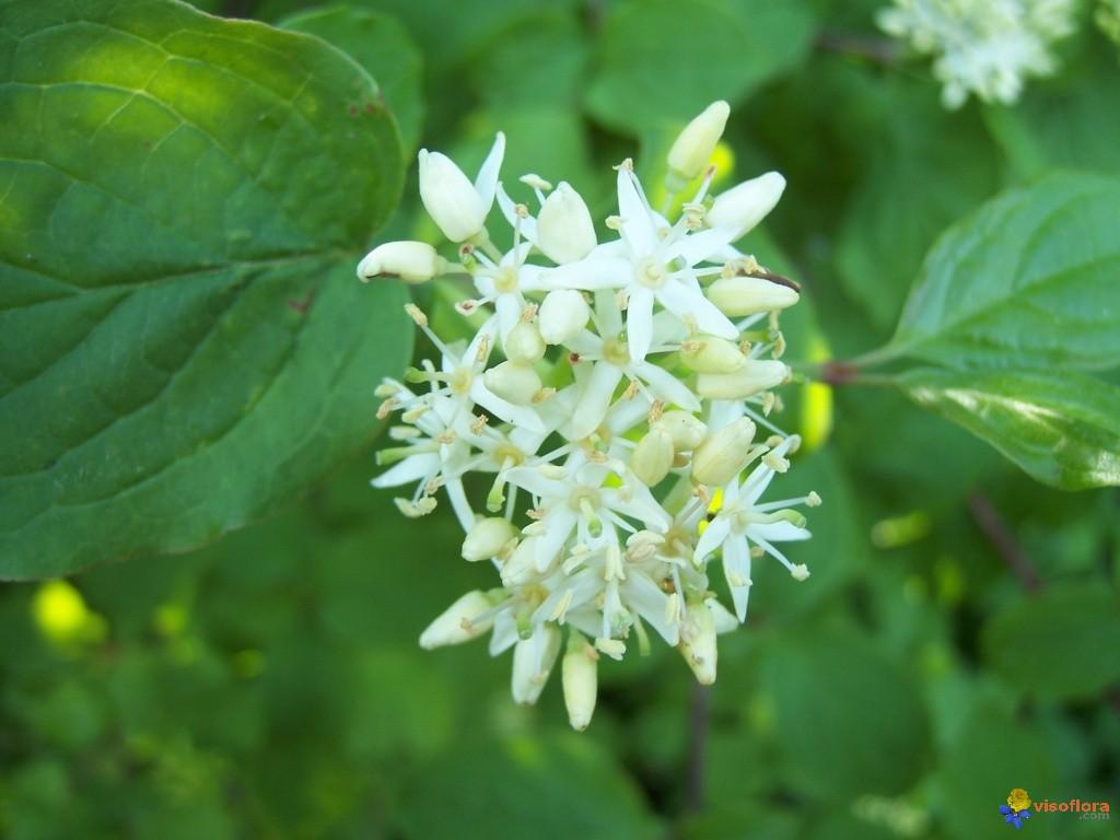 Cornouiller A Fleur Decoratif