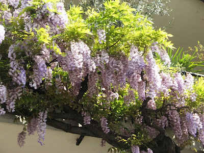 Wisteria would kill for this balcony,Home Garden