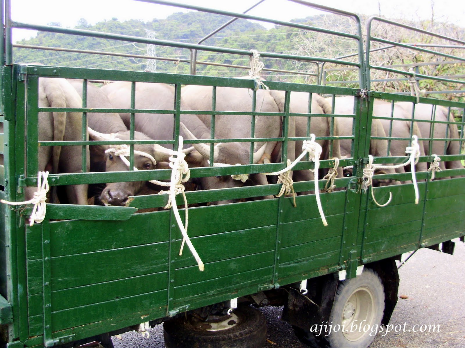 bulls tied on lorry