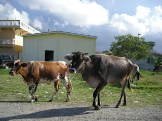 cows, Sambo Creek, Honduras