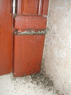 ant invasion, La Ceiba, Honduras