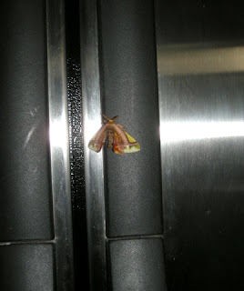 moth on the fridge, La Ceiba, Honduras