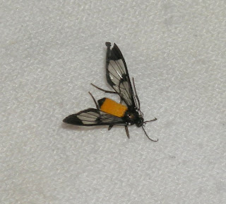 Honduran bug