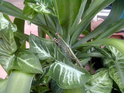 Mantis, La Ceiba, Honduras