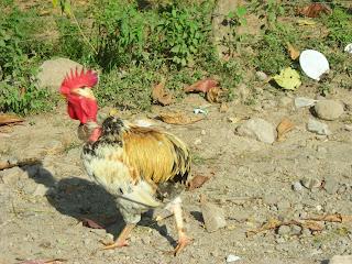 Tailless rooster, Yaruca, Honduras