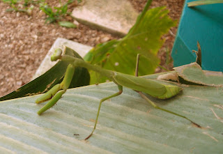 Green praying mantis, Honduras