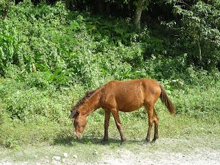 Horse, Honduras