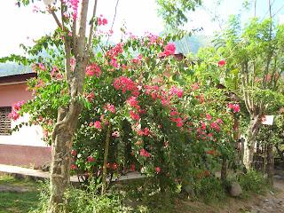 Bougainvillea, Yaruca, Honduras