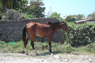 horse, La Ceiba, Honduras