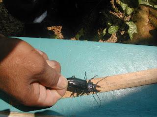 beetle, Honduras