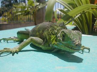 green iguana, La Ceiba, Honduras