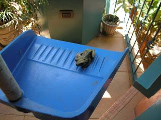 Frog, La Ceiba, Honduras