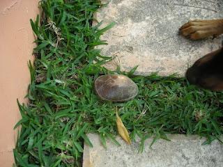 Honduran turtle, La Ceiba