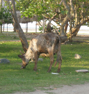 bull, Honduras