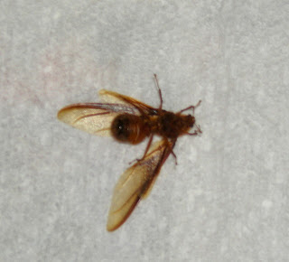 wasps, La Ceiba, Honduras