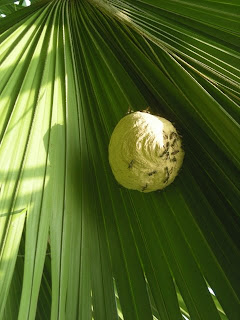 wasp nest on palm leaf, La Ceiba, Honduras