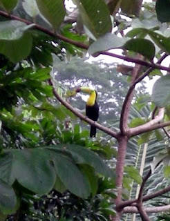 Toucan, La Ceiba, Honduras