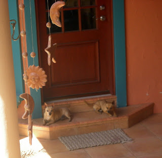 chihuahuas guarding the door, La Ceiba, Honduras
