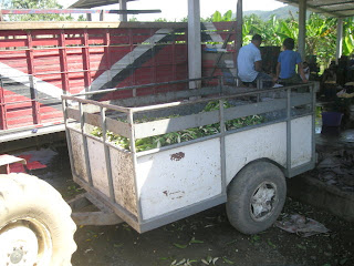 plantain peels, La Bomba, Jutiapa, Honduras