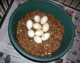 hatching eggs, La Ceiba, Honduras