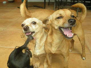 Honduran Chihuahuas, La Ceiba