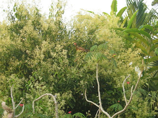 bantam hen in cinnamon tree, La Ceiba, Honduras