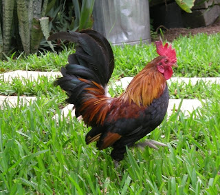 bantam rooster, La Ceiba, Honduras