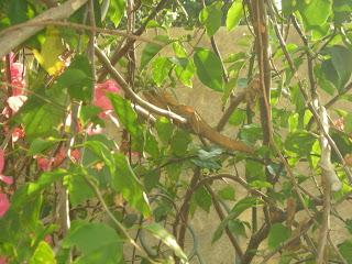 Basilisk lizard (Basiliscus vittatus), La Ceiba, Honduras