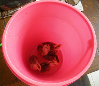 A bucket of chickens