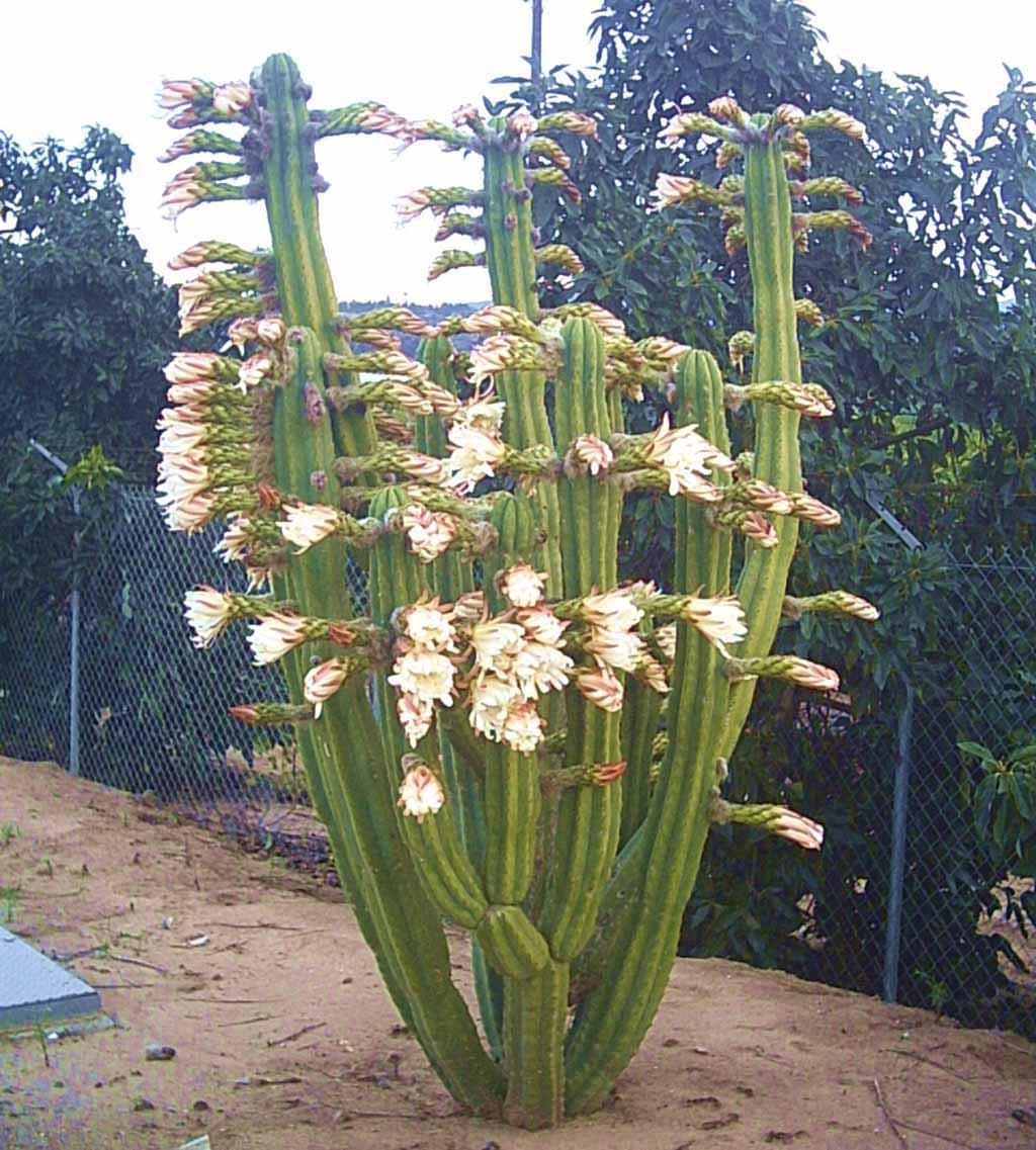 Cactus San Pedro con Flores