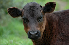 A HANDSOME LITTLE CALF