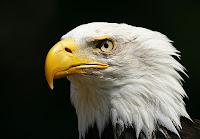 Foto da cabeça de uma águia demonstra toda a imponência da ave.
