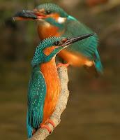 Bela imagem de dois pássaros da espécie Martim-Pescador