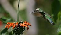 Beija-Flor ou Colibrí espreita uma flor parado no ar.
