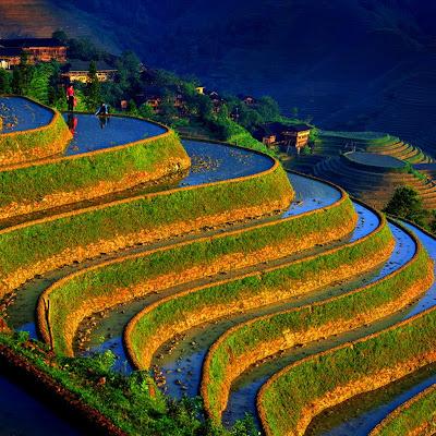 Plantio de arroz nos terraços do Hanis