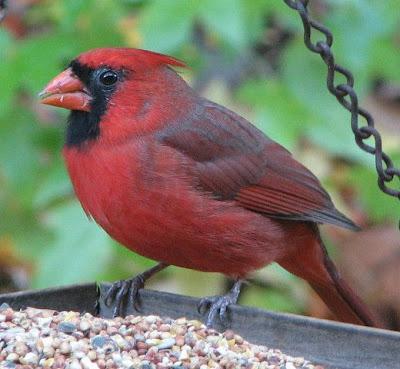 Cardeal (ave) Vermelho fotografado em close.