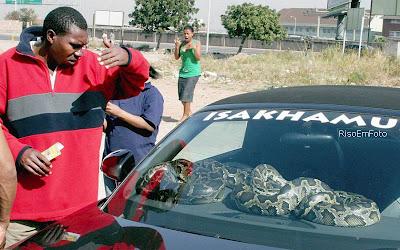 Uma Cobra enorme é usada como proteção contra roubo de carro.