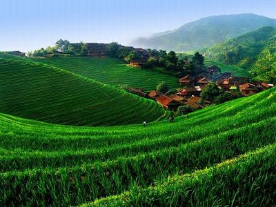 A cultura em desenvolvimento cobre com um verde exuberante o que antes era lama em prateleiras.